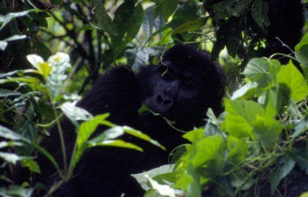 Ugandan gorillas