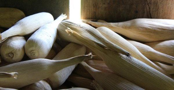 Maya Corn, Belize
