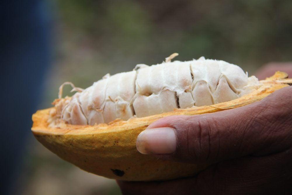 https://www.globotreks.com/wp-content/uploads/2011/11/Cacao-Wet-Beans.jpg
