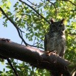 Belize Snapshot: Great Horned Owl