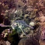 Belize Snapshot: Long Caye Aquarium Sea Turtle