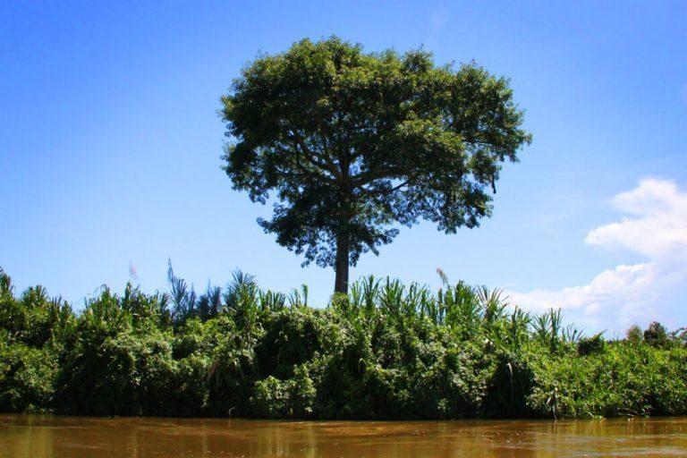 Belize Snapshot: Ceiba Tree