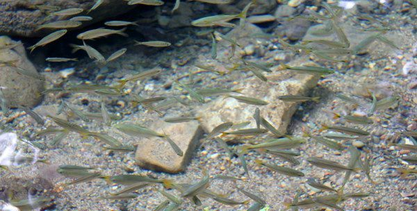 Fish in Cayo, Belize