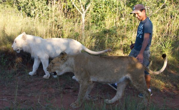 Walking with lions in Livingstone, Zambia