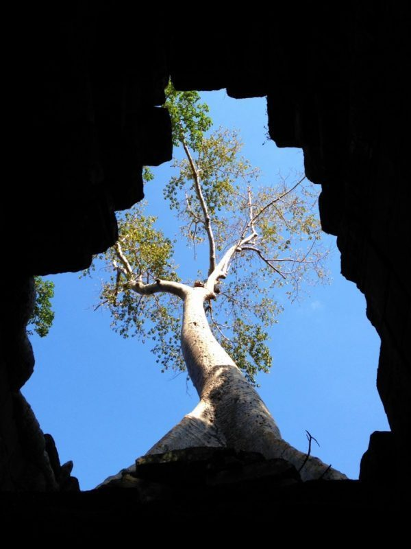 A tree growing on Angkor Wat