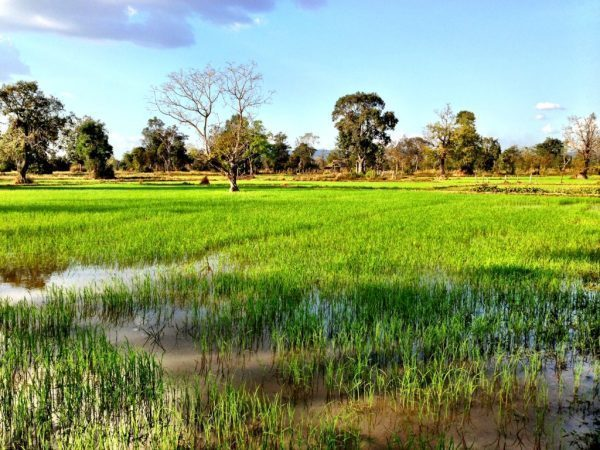 rice fields at siem reap, cambodia