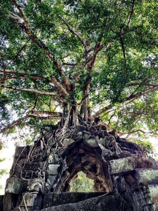 crown tree at beng mealea