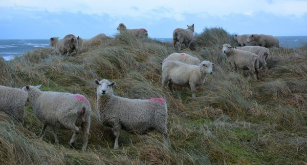Sheep in New Zelanad