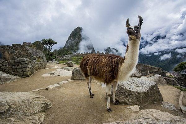 A llama in Machu Picchu
