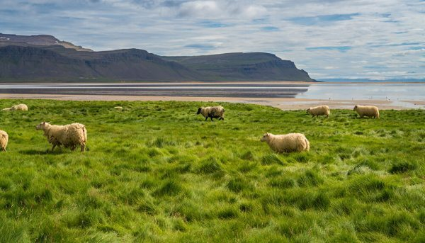 Sheep at the beach in Iceland