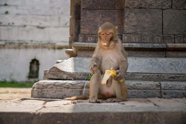 A Monkey at Pashupatinath Temple