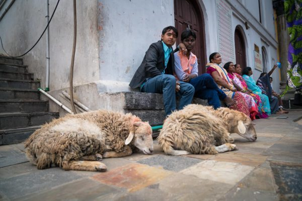 Goats at Pashupatinath