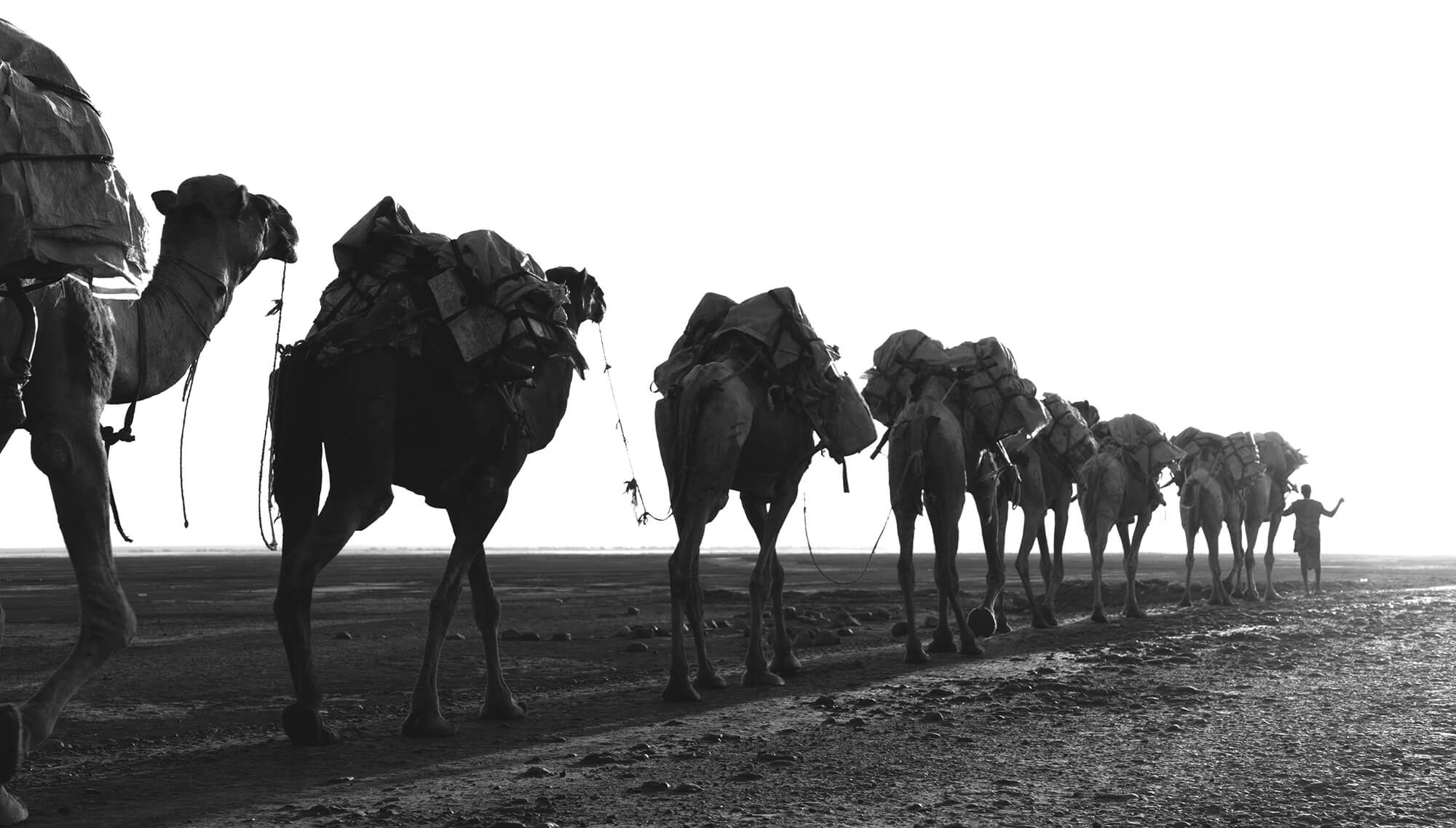 Camel in the Danakil Depression