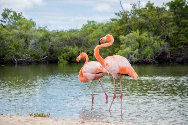 Pink Flamingos, Galapagos
