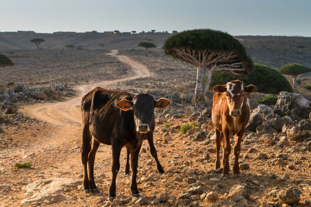 Cows in Socotra