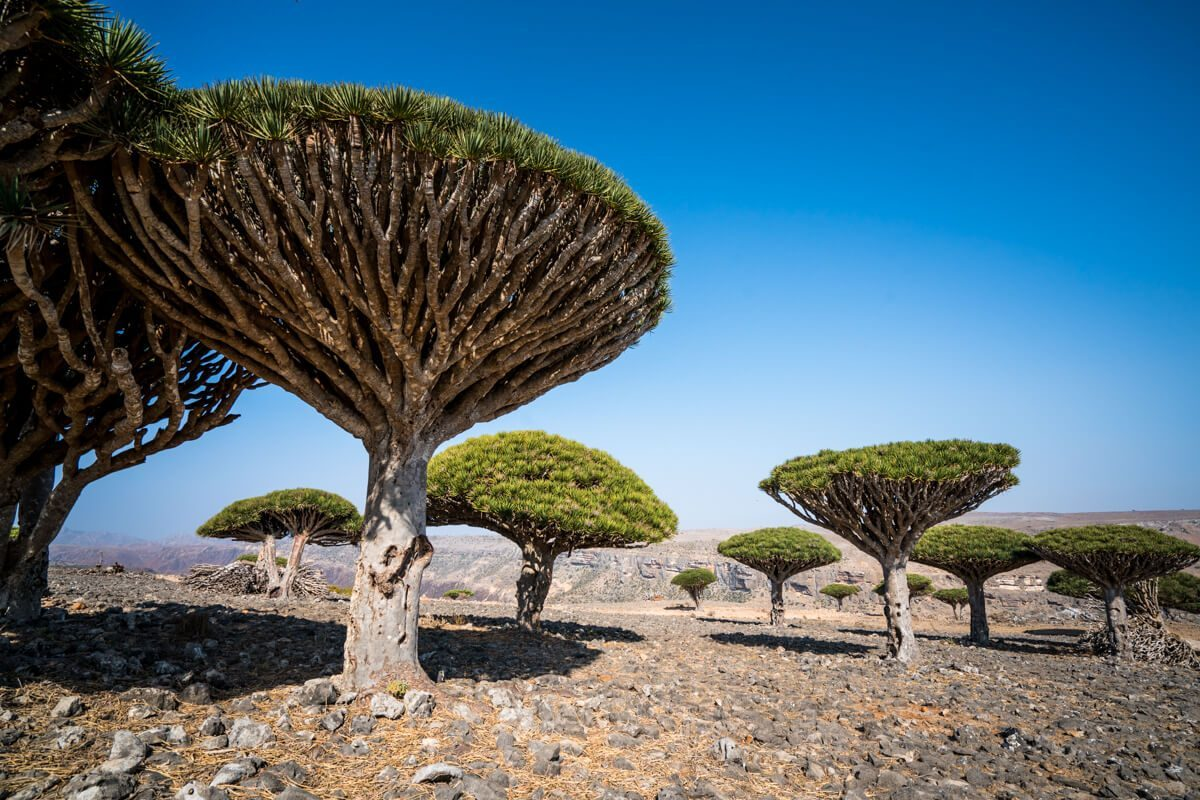 Dicksam Dragon Blood Trees at Socotra