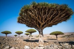 Dicksam Dragon Blood Trees at Socotra Island