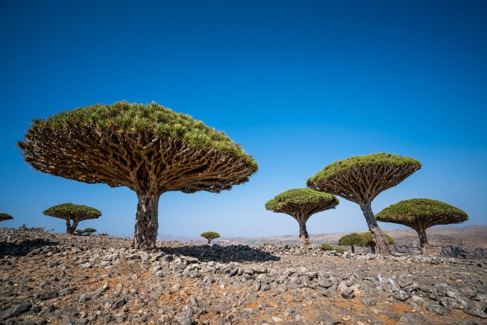 Dicksam Dragon Blood Trees - Socotra Island