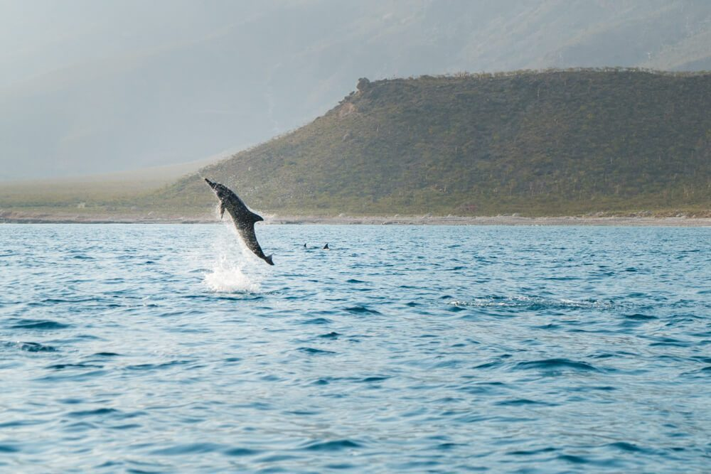 Dolphin jumping out of the water in Socotra