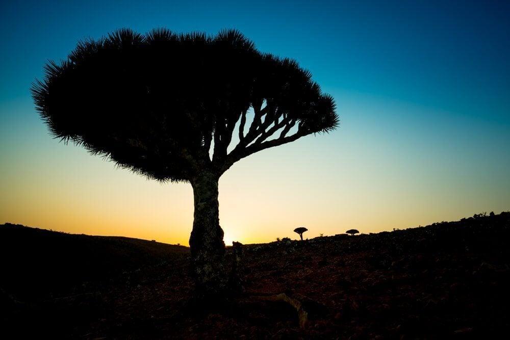 Dicksam Dragon Blood Trees Sunset