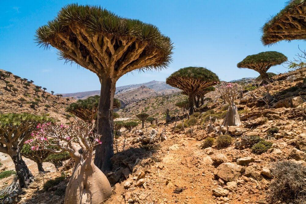 Dragon blood trees in Socotra, Yemen