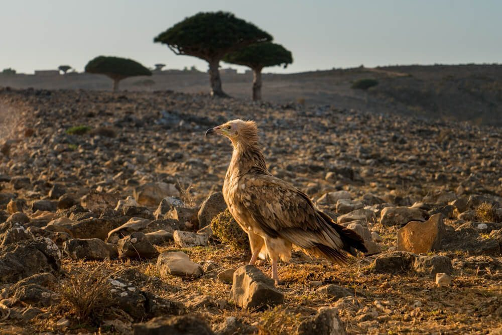 Vulture in Socotra
