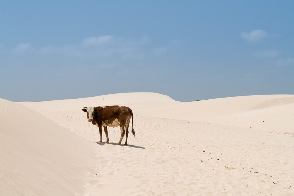 A cow at Zahik Dunes