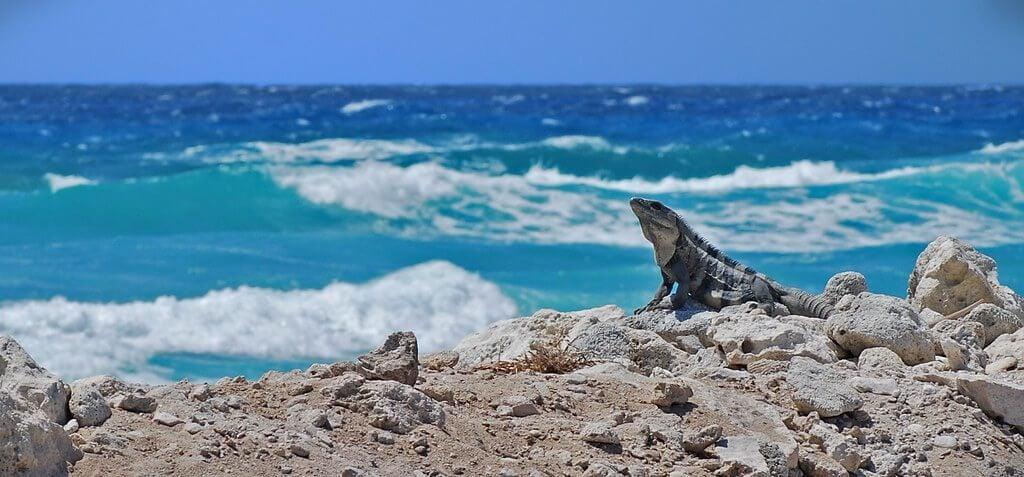 Cozumel, Mexico. Iguana
