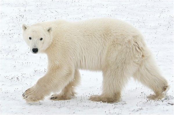 Polar Bear in Manitoba, Canada