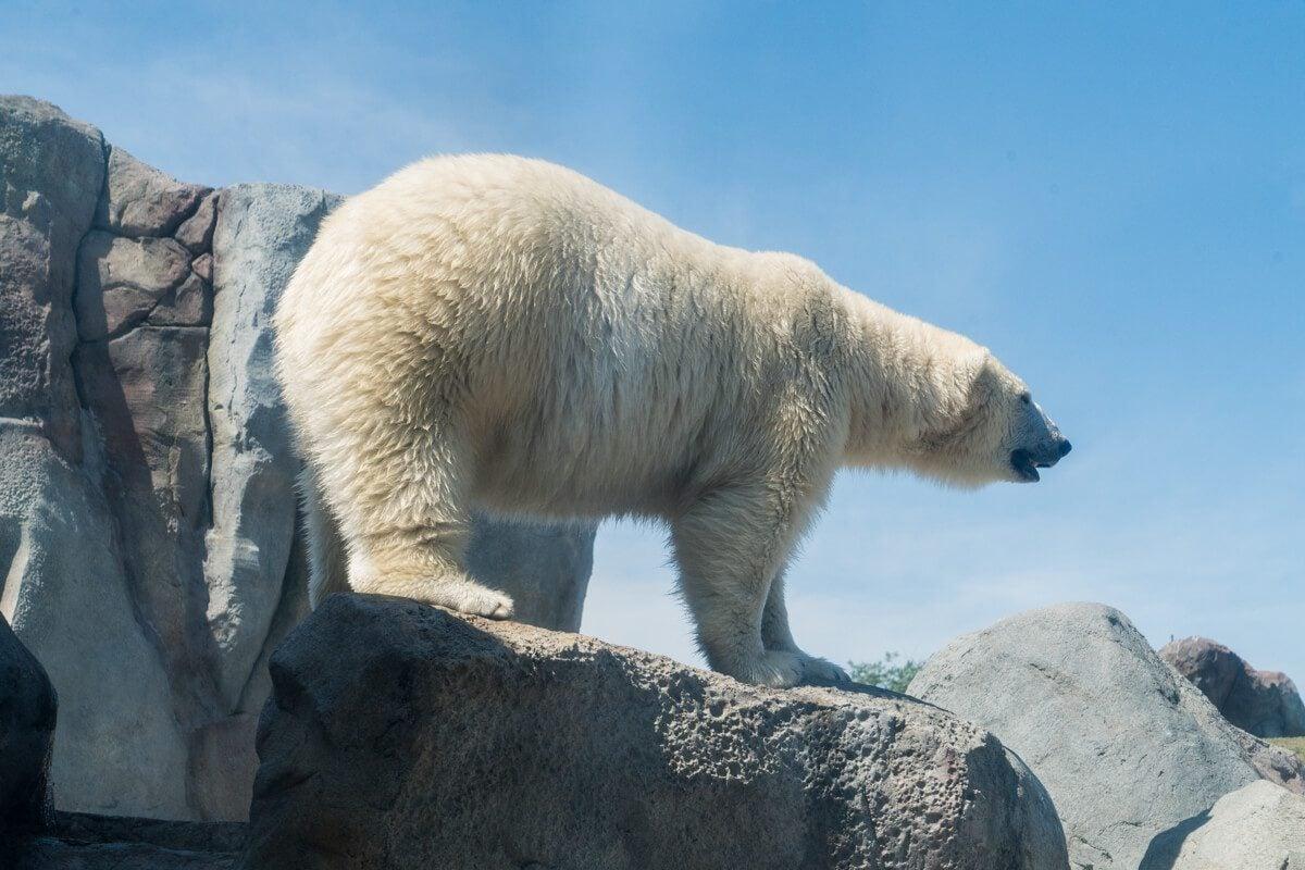 Assiniboine Zoo Polar Bear