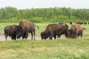 FortWhyte Alive Buffalos Winnipeg
