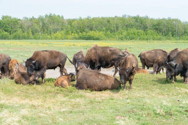FortWhyte Alive Buffalos