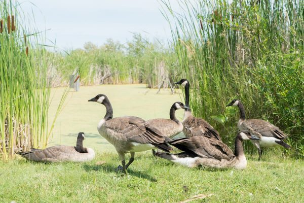 FortWhyte Alive Geese