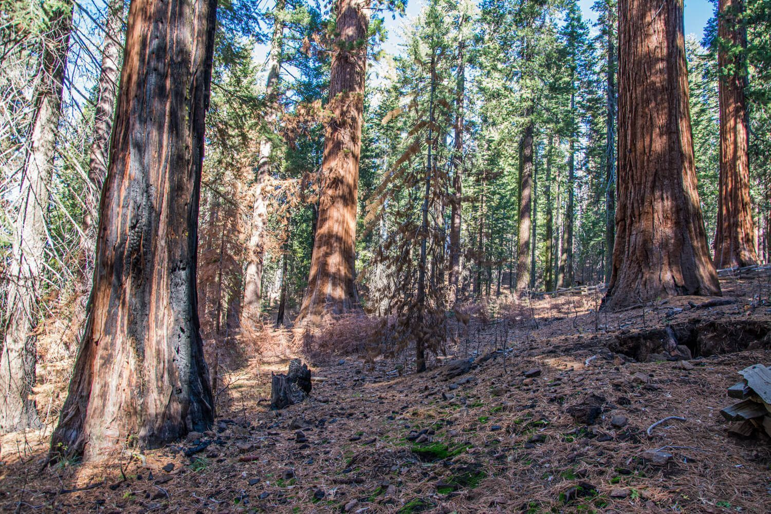 Redwood Trees and Sequoias, USA