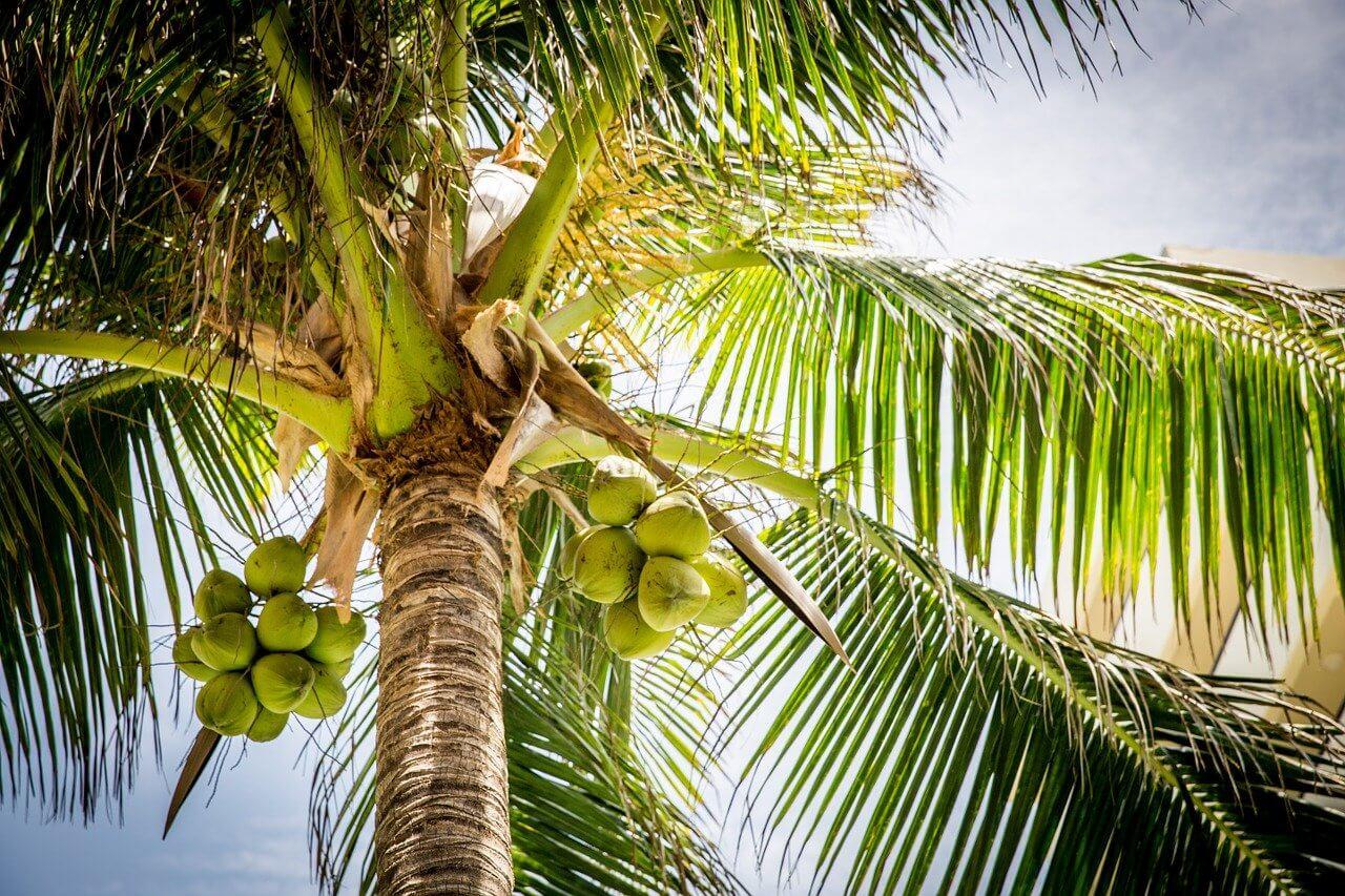 Goa, India Palm Tree