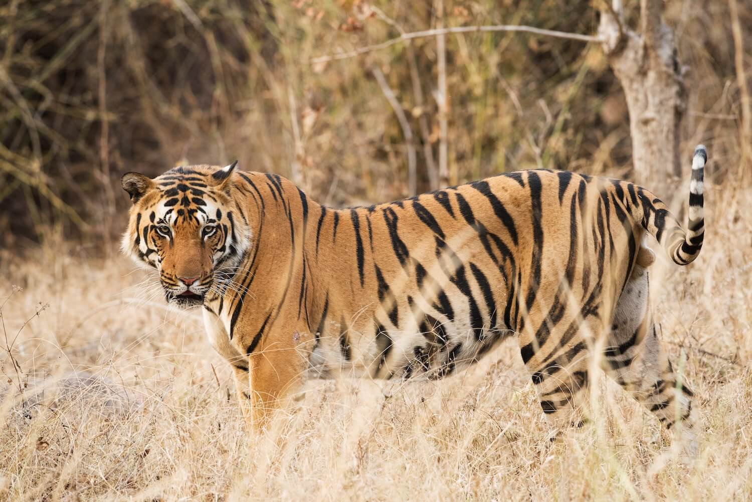 Tiger in Southern India