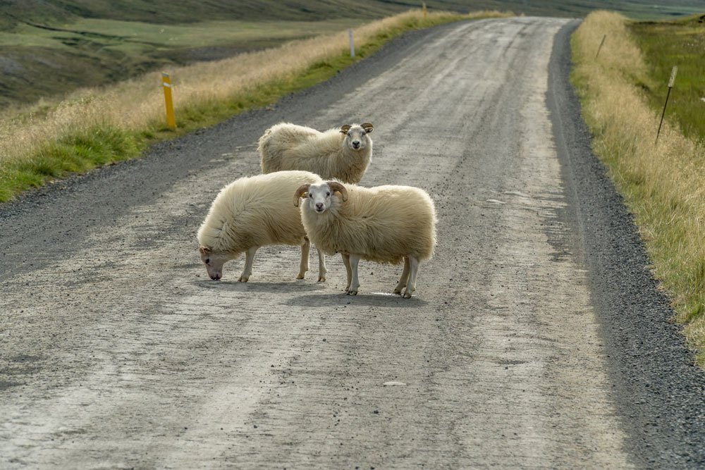 Hazards driving in Iceland - Sheep