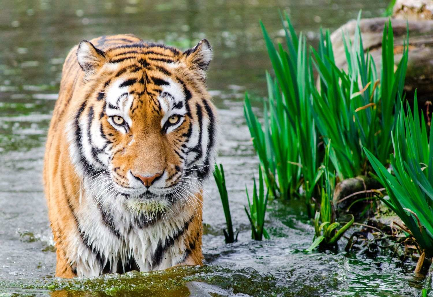 Tiger in the water in India