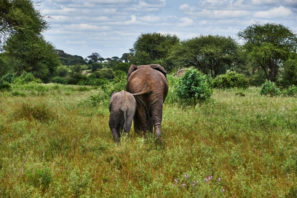 two elephants by a bush