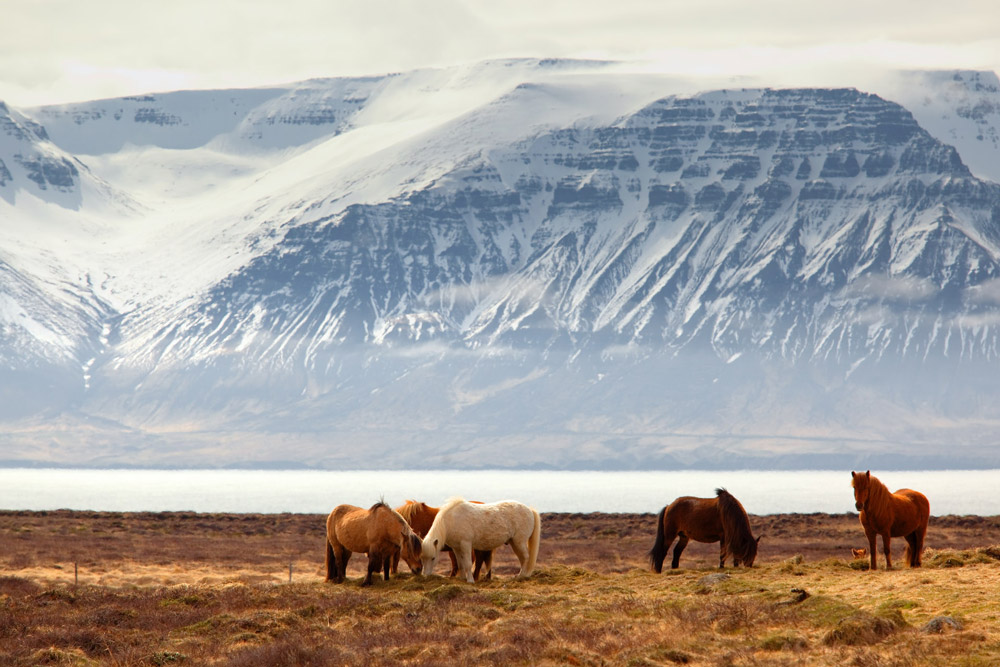 Wild horses graze Iceland driving routes