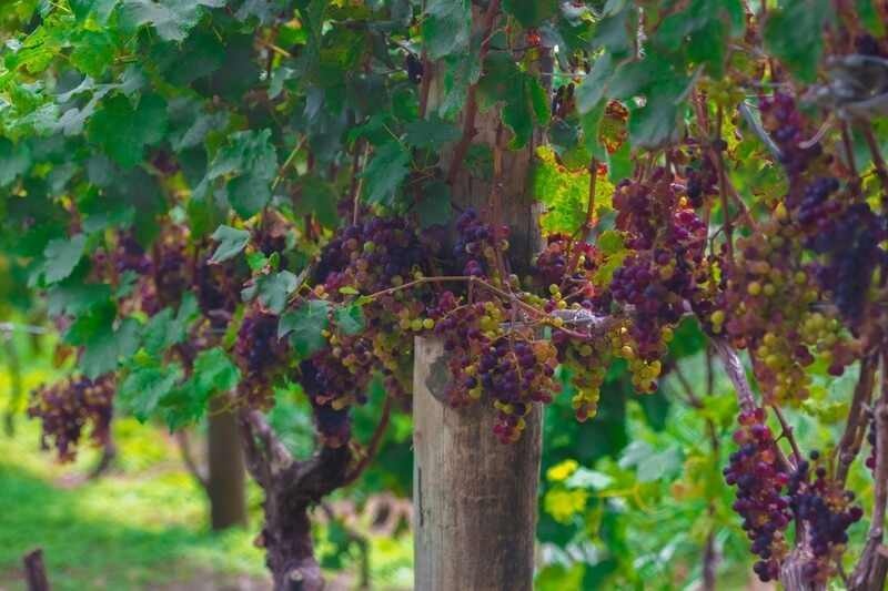 Wine Farm in New Zealand